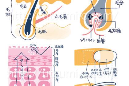 皮膚 爪 髪 構造図